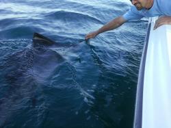 Deep Sea Marlin