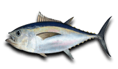 Deep Sea Fishing Bigeye Tuna