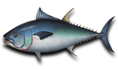 Deep Sea Fishing Bluefin Tuna