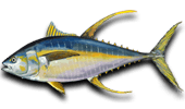 Deep Sea Fishing Yellowfin Tuna