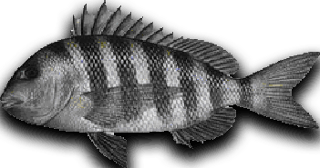 Inshore Fish Sheepshead