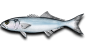 Inshore Fishing Bluefish