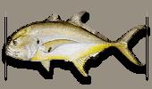 Inshore Fishing Crevalle Jack