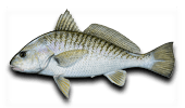 Inshore Fishing Croaker