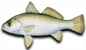 Inshore Fishing for Silver Perch