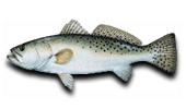 Inshore Fishing Spotted Seatrout-Speckled Trout