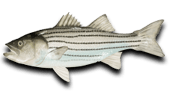 Inshore Fishing Striped Bass