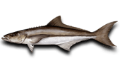 Nearshore Fishing Cobia Ling Lemonfish