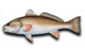 Nearshore Fishing Red Drum Redfish