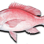 2015 Red Snapper Season