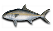 Offshore Fishing for Amberjack