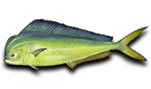 Deep Sea Fishing Mahi-Mahi Dolphinfish