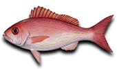 Offshore Fishing for Vermilion Snapper